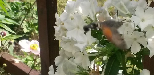 Kolibrischwaermer-Falter-taubenschwaenzchen-detail