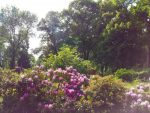 rhododendron-28-05-2016