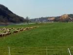 schafe-elbe-radweg-02-04-2016